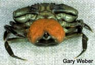 Image of gravid crab