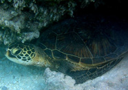 Photograph of a green turtle