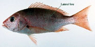 Image of snapper