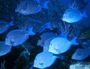 Image of blue tangs