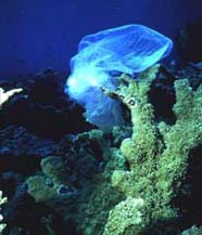 Image of plastic bag stuck on coral