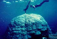 Image of massive coral colony