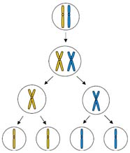 Diagram showing meiosis