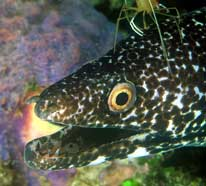 Photo of a spotted moray eel