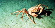 Image of benthic crab