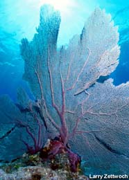 Image of sea fan (Gorgonia)