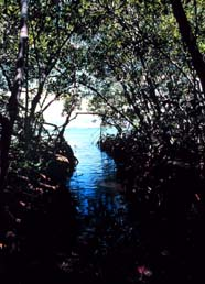 Image of mangrove nursery area