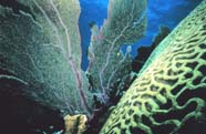 Image of sea fan (Octocorallia) with brain coral