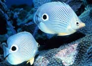 Image of ocelli of butterflyfish