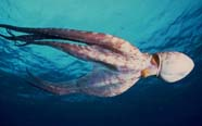 Image of an octopus on the move