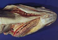 Image of ventral side of fish head