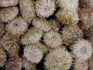 Image of sea urchins