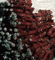 Image of organ-pipe coral