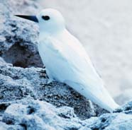 Image of white tern