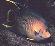 Image of angelfish