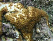 Photo of a palytoxin soft bodied hexacoral