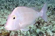 Photo of a porgy