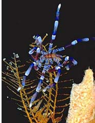 Image of a blue pycnogonid