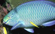Queen parrotfish with juvenile bluehead wrasse