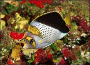 Photo of yellow-crowned butterflyfish