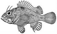 Illustration of the coral scorpionfish