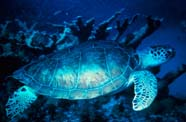 Image of a sea turtle