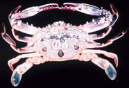 Image of a crab (dorsal side)