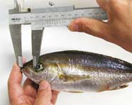 Image of fish snout being measured
