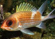 Photo of a squirrelfish