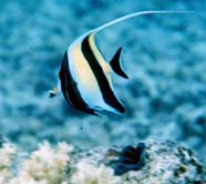 Image of Moorish idol