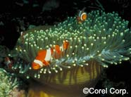 Image of clownfish w. anemone