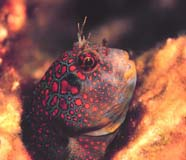 Image of blenny