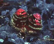 Photo of the Christmas tree tube worm