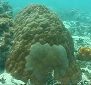 Photo of a coral (Porites lutea) with a tumor