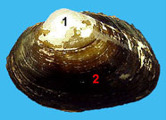 Image of bivalve shell
