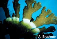 Image of white-band disease on coral
