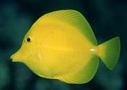 Image of yellow tang
